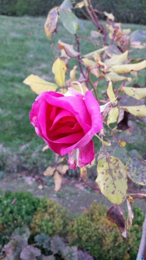 Autumn Colors Rose D'automne Roses
