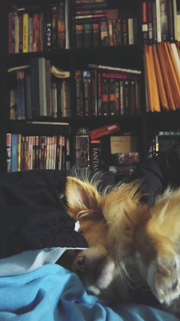 pets, domestic animals, one animal, animal themes, bookshelf, indoors, book, mammal, dog, home interior, no people, close-up, day