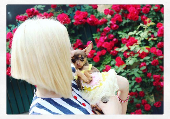 моя рыбка любимейшая)) русскийтой русскийтойтерьер декоративнаяпорода Little Dog Little Puppy My Sweet Puppy Baby Russiantoy Russiantoyterier #russiantoyterrier Blonde Blonde Girl Fashionblogger Stylish Haircut Fashiondog