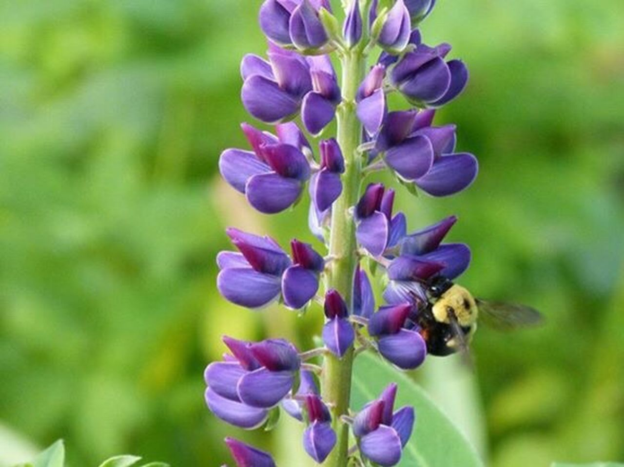 Bumble bee working. Nature. Beauty in nature. Purple Insect Outdoors Bee 100 Days Of Summer