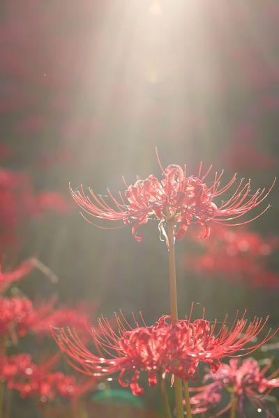 Flowers Lycoris Sunshine