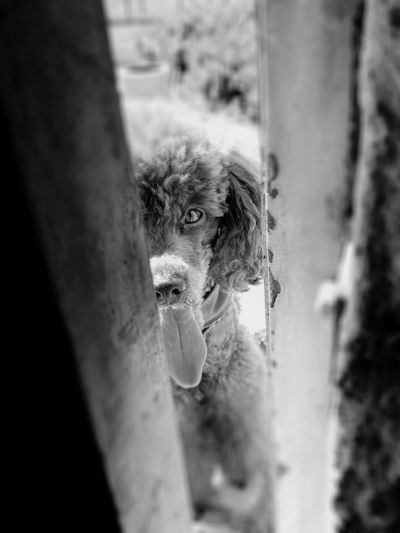 Black & White My Dog Black And White Photography Monochrome Monochrome Photography Black&white Dog One Animal Animal Themes Pets Poodle🐩 My Love❤ Close-up Poodle Love Poodle Poodlemania Looking At Me Dog Photography Looking At Camera Dog Eyes Dog Portrait Pet Portraits Black And White Friday