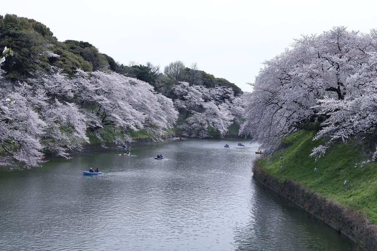 Beauty In Nature Cherry Blossom Cherry Blossoms Clear Sky Day Flower Japan Japan Photography Nature Nature Photography Nature_collection Outdoors River River View Riverside Sakura Scenics Sky Spring The Great Outdoors - 2017 EyeEm Awards Tranquil Scene Tranquility Tree Water Waterfront