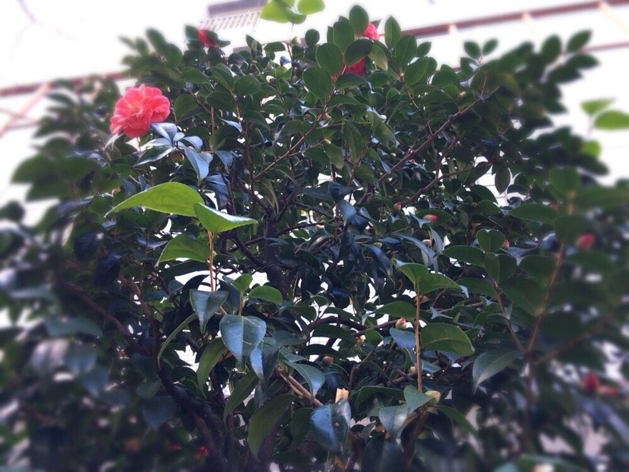 Camellia Sasanqua Kyoto Japan Kyoto City