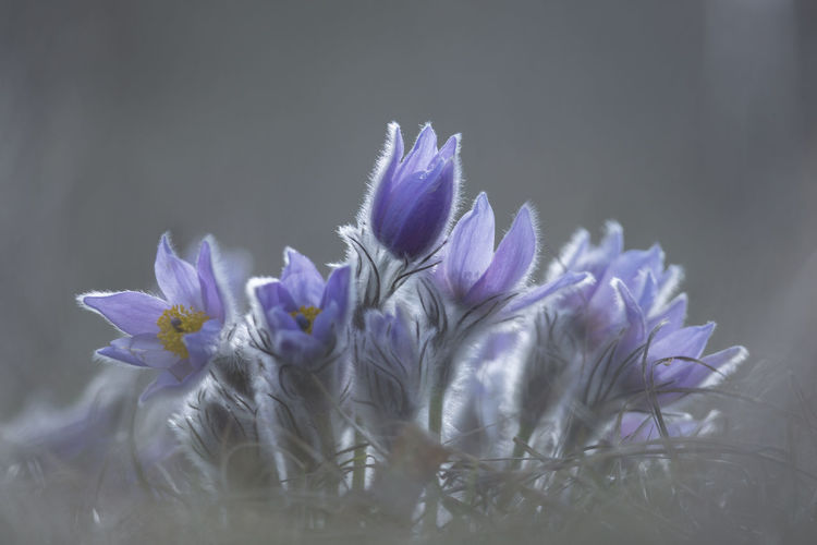Greater pasque flower / Pulsatilla grandis [Canon EF 300mm f/2.8 L IS II USM] Beauty In Nature Blossom Close-up Day Flower Flower Head Fragility Freshness Growth Nature No People Outdoors Pasque Flower Petal Plant Purple Spring Spring Flowers Springtime Wildflower