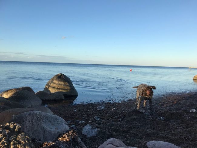 Sea Water Horizon Over Water Beach Nature Shore Tranquility Tranquil Scene Scenics Rock - Object Beauty In Nature Clear Sky No People Outdoors Day Sky Sand Pebble Beach Dog Breathing Space