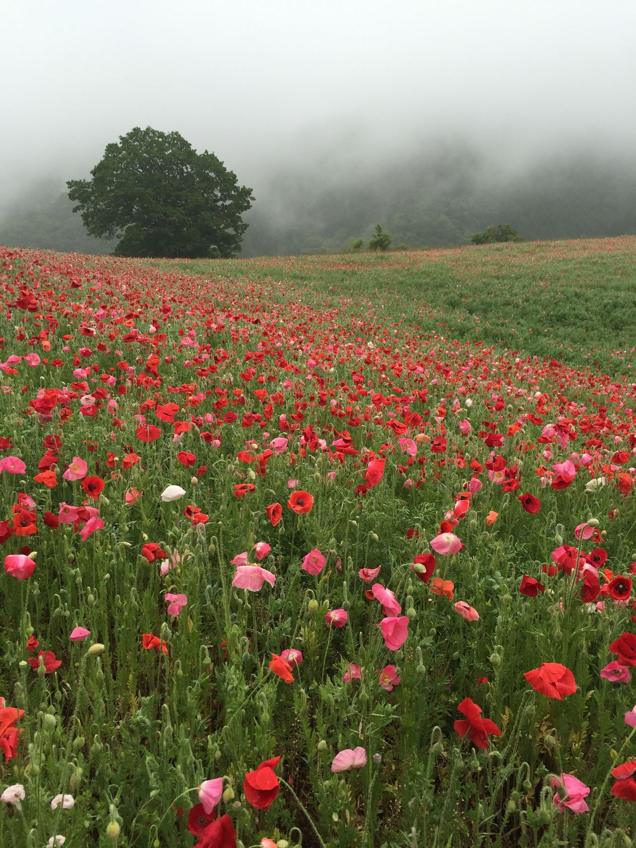 Field of poppies in the misty morning 🥀 Field Nature Growth Beauty In Nature Flower Fog Landscape Tranquility Plant Tranquil Scene Scenics Rural Scene Day Outdoors Red No People Grass Agriculture Poppy Freshness The Great Outdoors - 2017 EyeEm Awards Japan
