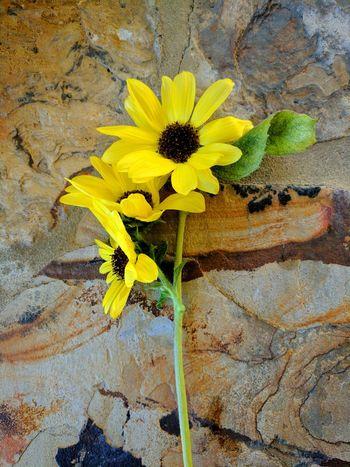 Yellow Sunflower🌻 Organic Gardening Summergarden Sunflowers🌻 Yellowflowers Sunflowers Summerblooms Paint The Town Yellow