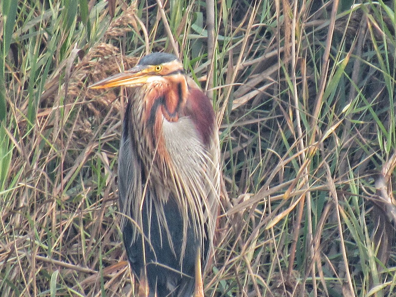 (+_+)Purple heron (+_+) biological name Ardea purpurea , these are migratory birds that come in indian winters for brooding . Animal Themes One Animal Bird Animals In The Wild Nature Day Animal Wildlife No People Grass Outdoors Close-up Mammal Purpleheron Migratory Birds Brooding Swamp