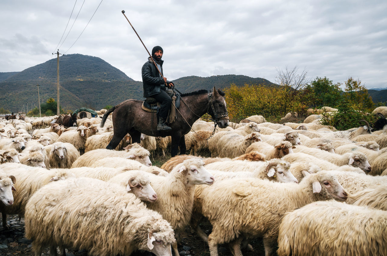 Shepherd with crook riding a horse and herding a group of sheep Agriculture Flock Of Sheep Georgia Grazing Herd Horse Horse Riding Only Men Outdoor Life Outdoor Pictures Outdoors Pasture Rural Sheep Shepherd Traditional Traditional Clothing Village White Wool Adapted To The City Adapted To The City