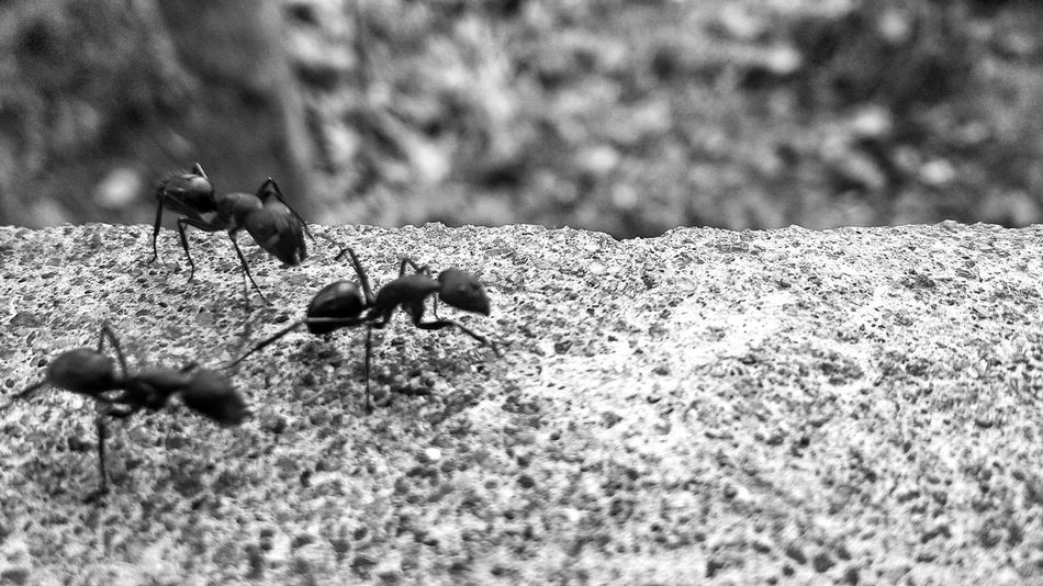 Animal Themes Sunlight Animals In The Wild No People Outdoors Day Animal Wildlife Nature Mammal Close-up Textured Surface From My Point Of View No Faces Macro Photography Macro Ants Ants At Work Ants In Motion Ants On The Go! Antsmarching Monochrome Black & White