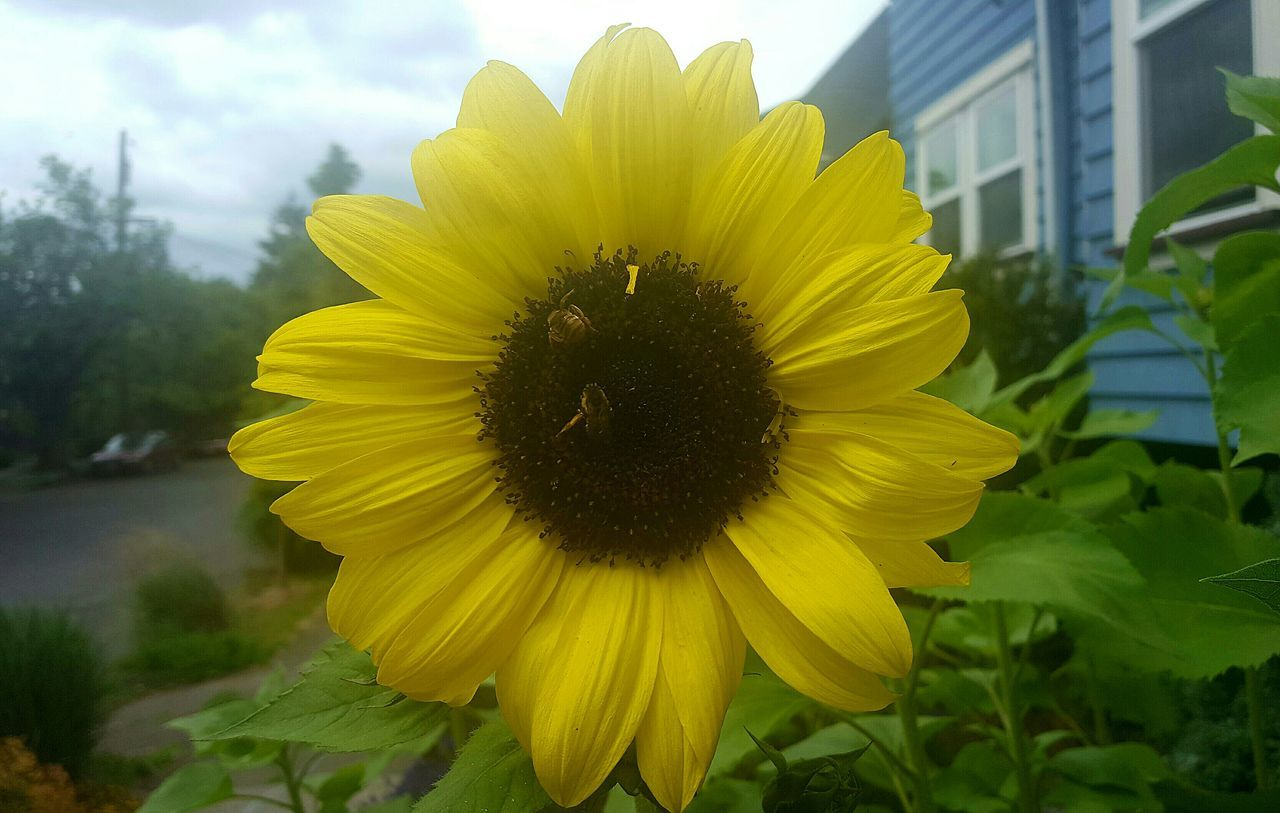 flower, yellow, petal, fragility, flower head, growth, plant, nature, beauty in nature, outdoors, freshness, day, pollen, sunflower, no people, blooming, close-up, animal themes, sky