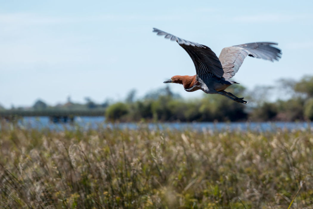 Animal Behavior Animal Themes Animal Wing Animals In The Wild Avian Beauty In Nature Bird Flapping Flight Flying Focus On Foreground Mid-air Nature No People One Animal Outdoors Selective Focus Spread Wings Tranquility Water Water Bird Wildlife Zoology