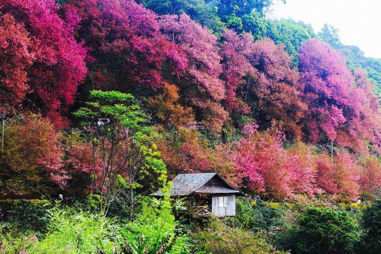 Thai Cherry Blossom Cherry Blossoms Chiang Mai Thailand พญาเสือโคร่ง
