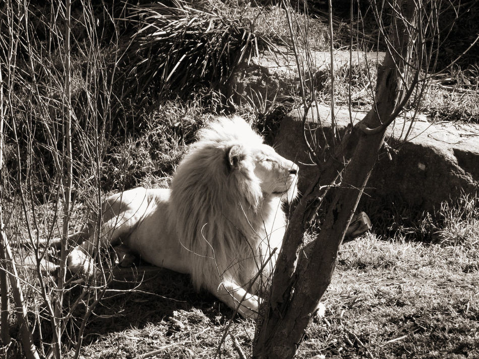 Animal Themes Australian Capital Territory Black And White Collection  Canberra City King Of The Jungle Lion - Feline Majestic Animal No People Outdoors