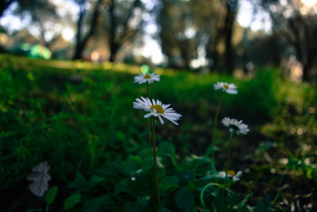 Botany Flower Flower Head Focus On Foreground Fragility Nature Petal Pollen Springtime White