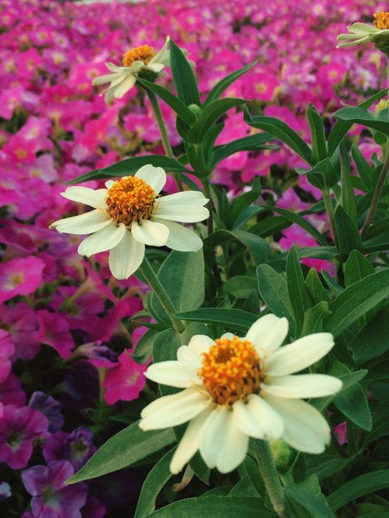 Flowers Garden Nature Flowerporn UAE