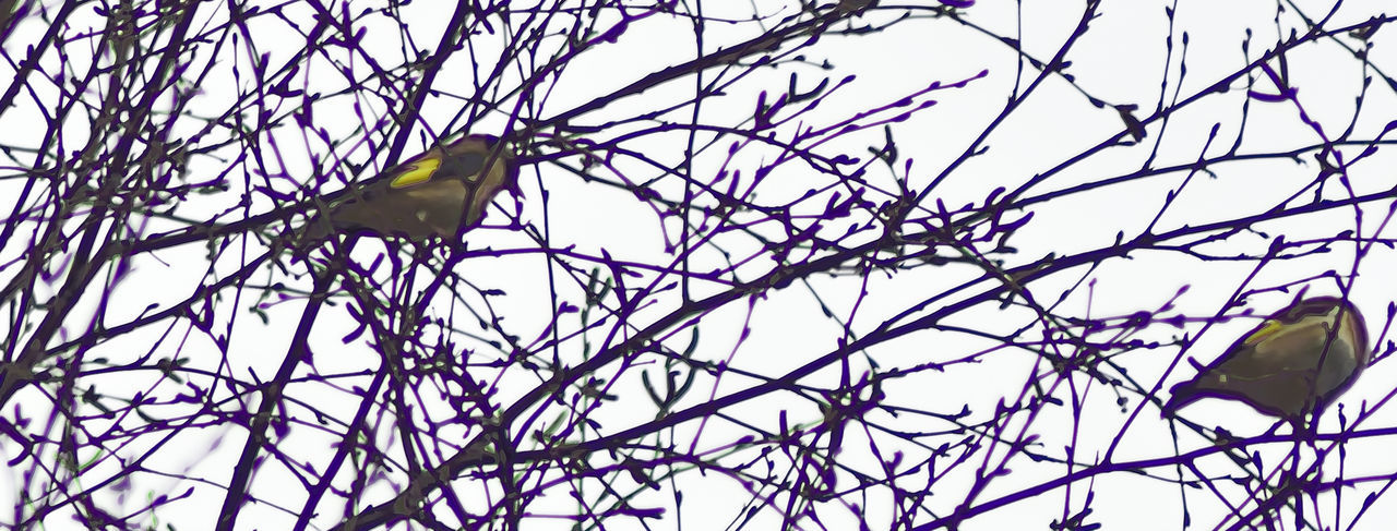 Bourley Heath. Animals In The Wild Bird Birds In The Wild Close-up Goldfinches Low Angle View Nature Pair Off Finches Sky Tree Carduelis Carduelis