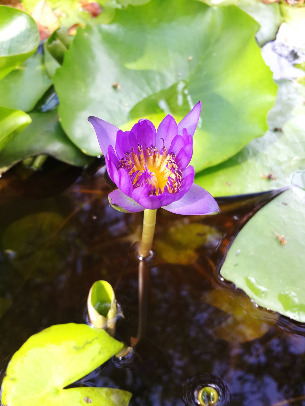 Flower Leaf Petal Water Lily Plant Floating On Water Fragility Beauty In Nature Nature Water Flower Head Purple No People Orchid Close-up Multi Colored Lotus Water Lily Outdoors Iris - Plant Day