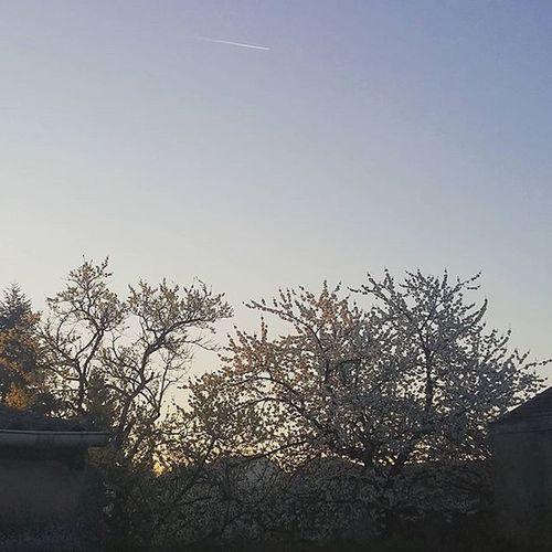 Cherrytree Cherrytreeflowers Morninglight Plane over the Tree TreePorn Bluesky Bluebluesky Haveanicedaypeople Haveaniceday Cerisier Cerisierenfleurs CielBleu Lumierematinale Ombre Treeshadow Avion Bonnejourneelesgens Bonnejournee
