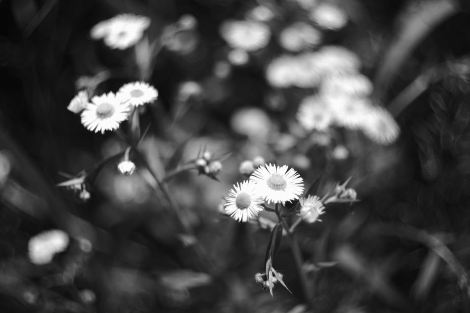 Remembrance love EyeEm Nature Lover Nature Photography Nature Nature_collection Black And White Photography Black & White Japanese  My Photography Flower Flowers Wild Flowers Wild Flower Flower Photography Erigeron EyeEm Best Shots - Black + White My Favorite Photo Black And White Black And White Collection  Eyeem Black And White Fujifilm X-Pro1 Canon 35mm F1.8 L Leica Lens Black&white Flower Porn Lost Souls