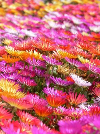 Flower Nature Fragility No People Beauty In Nature Outdoors Close-up Flower Head Carpet Of Flowers Multi Colored