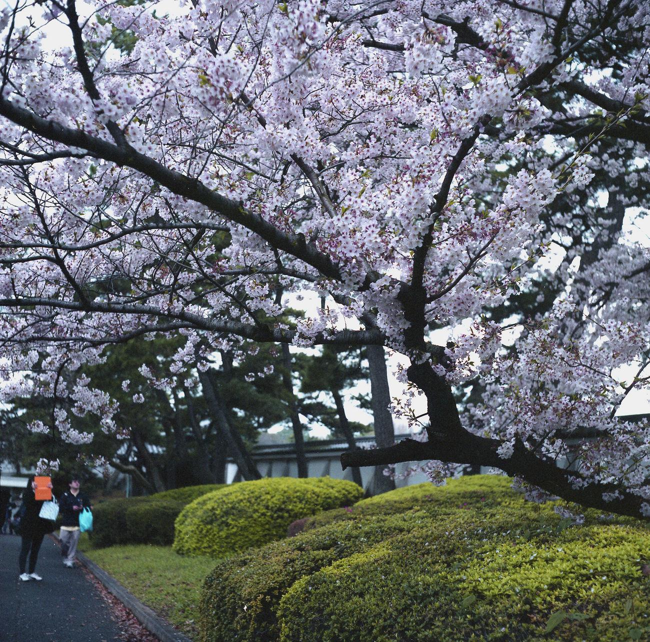 桜 ローライコード Taking Photos Enjoying Life Hello World Rolleicord Camera Tokyo Taking Photos EyeEm Best Shots Relaxing Eyeemphotography Film Photography Film Sakura Flowers