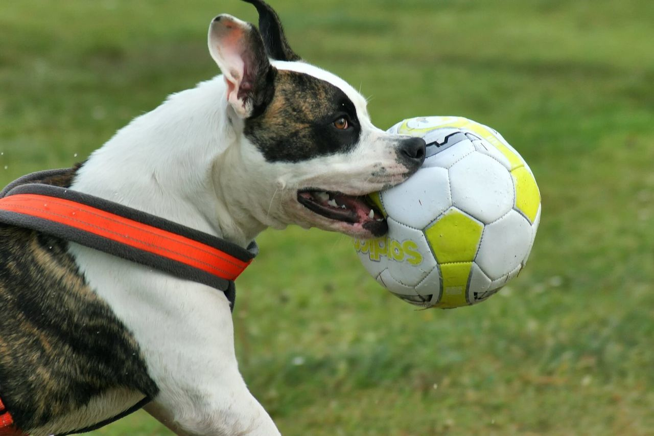 Bailey having fun playing Football Soccer One Animal Focus On Foreground Grass Pets Domestic Animals Field Outdoors Animal Head  Zoology Dogs Puppy Mydog Freezing Action Photography Pet Photography