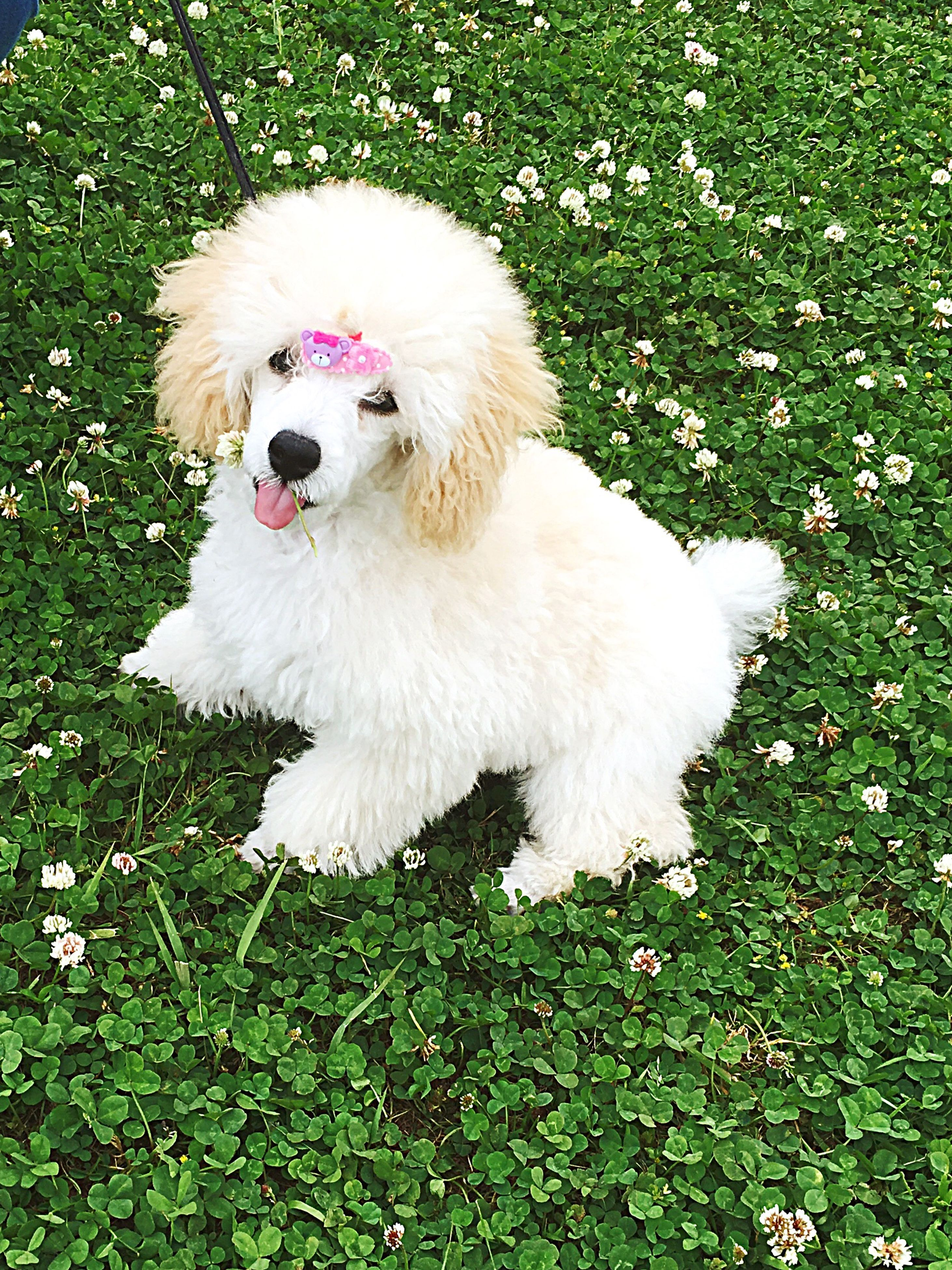 pets, animal themes, dog, grass, domestic animals, mammal, one animal, no people, green color, poodle, outdoors, nature, day, pomeranian
