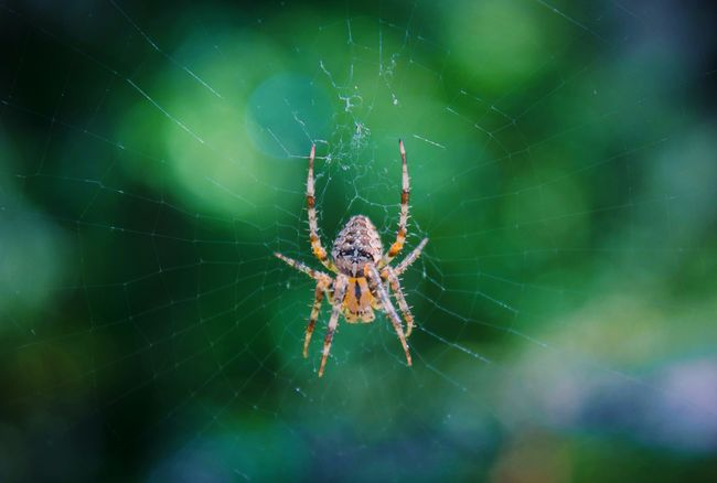 Just hanging out🕸 Spider Spider Web One Animal Insect Animal Themes Animals In The Wild Close-up Wildlife Focus On Foreground Web Arachnid Nature Zoology Weaving Beauty In Nature Animal Hair Fragility Full Frame Visualoflife Pnwcollective Visualsoflife PNW Heatercentral Bokeh Bokehlicious