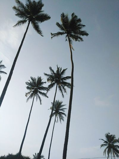Palm Tree Tree Low Angle View Nature Outdoors No People Day Sky Индия ИндийскиеМотивы