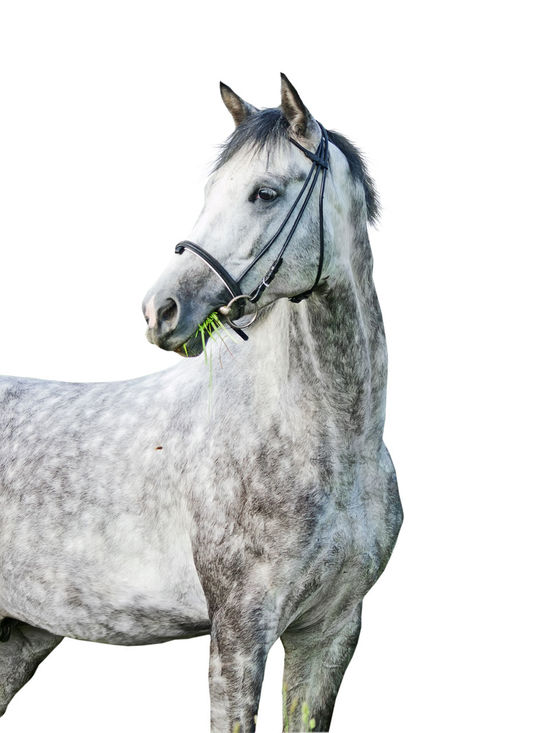 Animal Equestrian Gray Horse Isolate Isolated Isolated White Background White