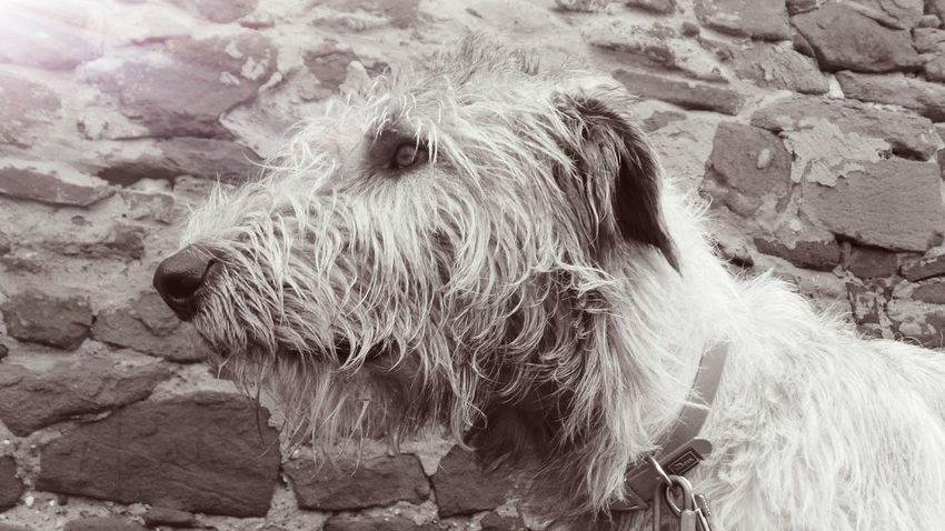 Animal Themes One Animal Domestic Animals Pets Outdoors Winter 2016 Christmas 2016 Bokeh Cearnaigh Dogslife Dog Irish Wolfhound Dogslife Dogs Of EyeEm Dog Of The Day Dogwalk Dogs Of Winter Wall Monochrome Sepia Petscorner Christmas Walkies
