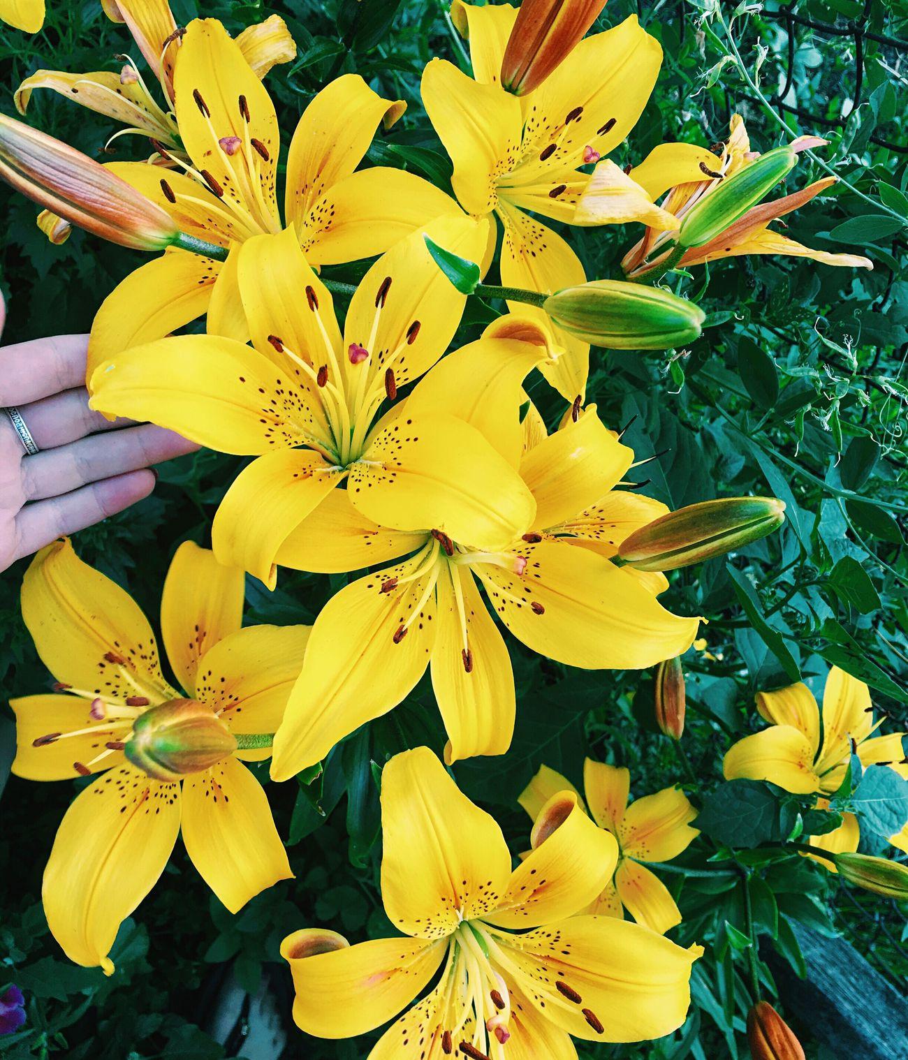 Они прекрасны💛 цветы цветочки красота Красоты природы Flower Flowers красивоефото желтый зеленый красота России красотаприроды красотарядом люблю цветы цветы🌸🌼🌻💐🌾🌿 прелесть милота прекрасно взаимныелайки взаимнаяподписка Followme Follow4follow Followback Follow Followforfollow Following