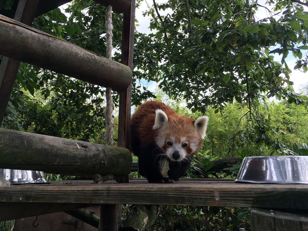 My favourite animal. So beautiful and majestic Animal Themes Animal Wildlife Animals In The Wild Day Mammal Nature No People One Animal Outdoors Panda Panda - Animal Portrait Red Panda Red Panda Tree