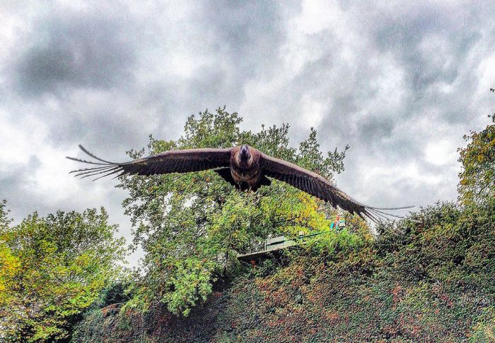 Cóndor  in Flight at Warwick Castle Check This Out Taking Photos EyeEm Best Shots
