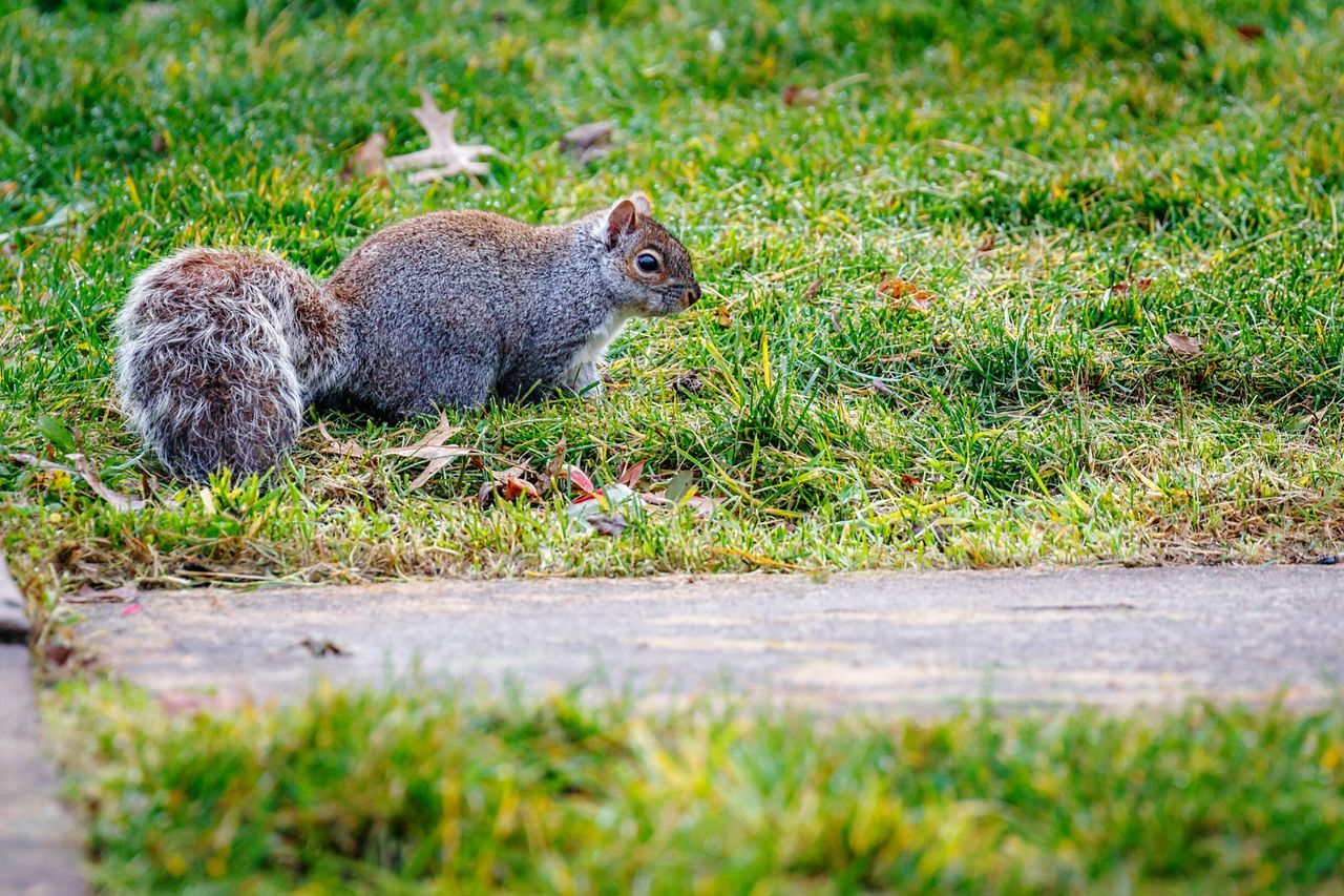 A very bushy tailed grey squirrel making his living this am. Squirrel Squirrel! Squirrel Closeup Squirrel Photo Squirrels Squirrelporn  Grey Squirrel A Squirrel Rodents Rodentlove Canon 7D MarkII Canon EF 100-400 L IS USM