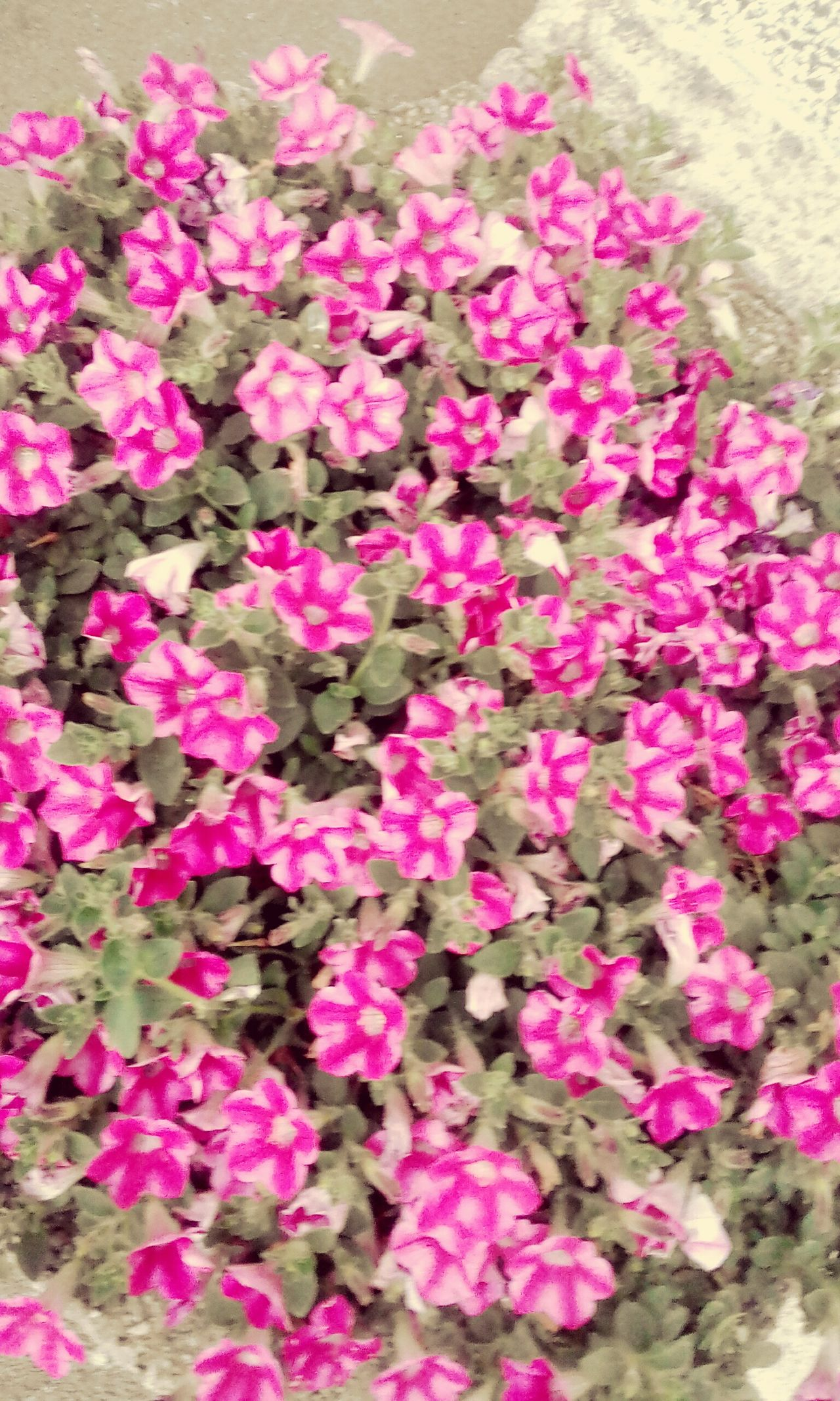 Flower Pink Color Petal Beauty In Nature Nature Fragility No People Plant Freshness Pink High Angle View Blooming Day Outdoors Growth Leaf Flower Head Bougainvillea Close-up Petunia