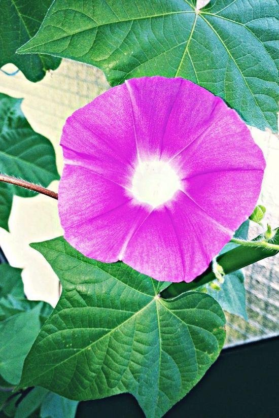 Nature Asagao