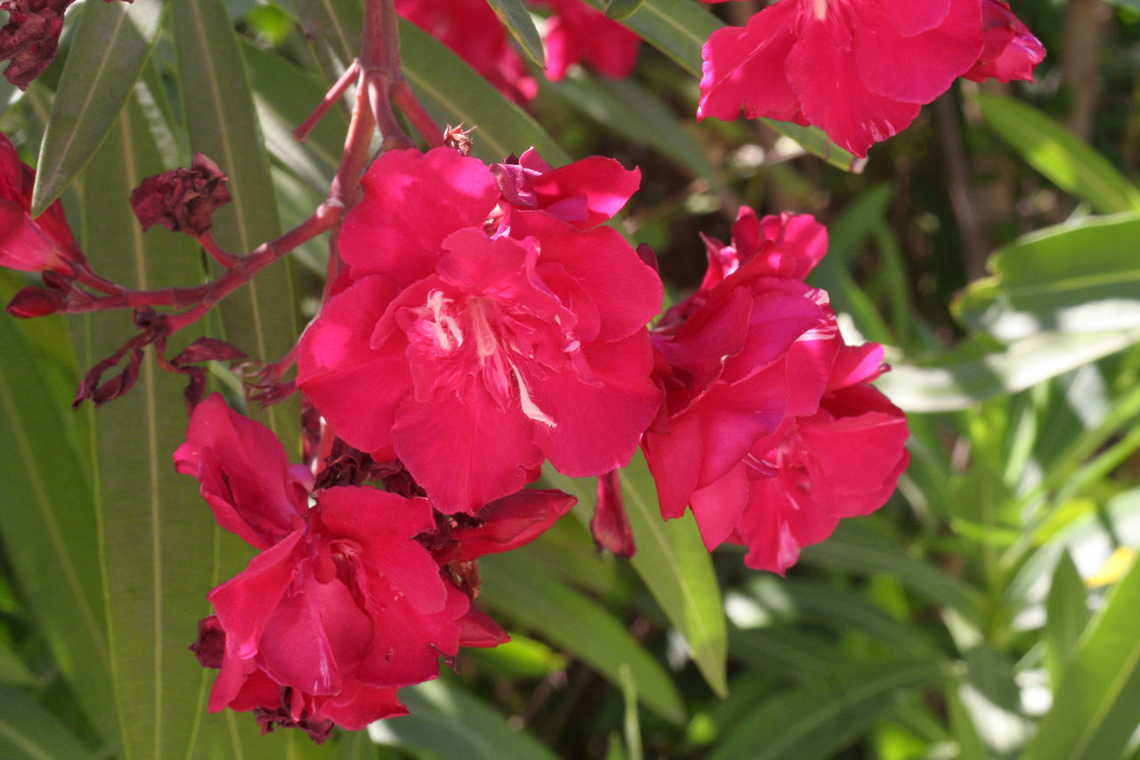 Beauty In Nature Blooming Blossom Botany Close-up Flower Flower Head Focus On Foreground Fragility Freshness Green Color Growth In Bloom Leaf Mediterranean Flowers Nature Oleander Oleander Flowers Outdoors Petal Pink Pink Color Plant Selective Focus Tranquility