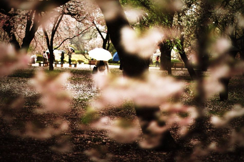 Light And Shadow Cherry Blossoms Rain Spring Unbrella
