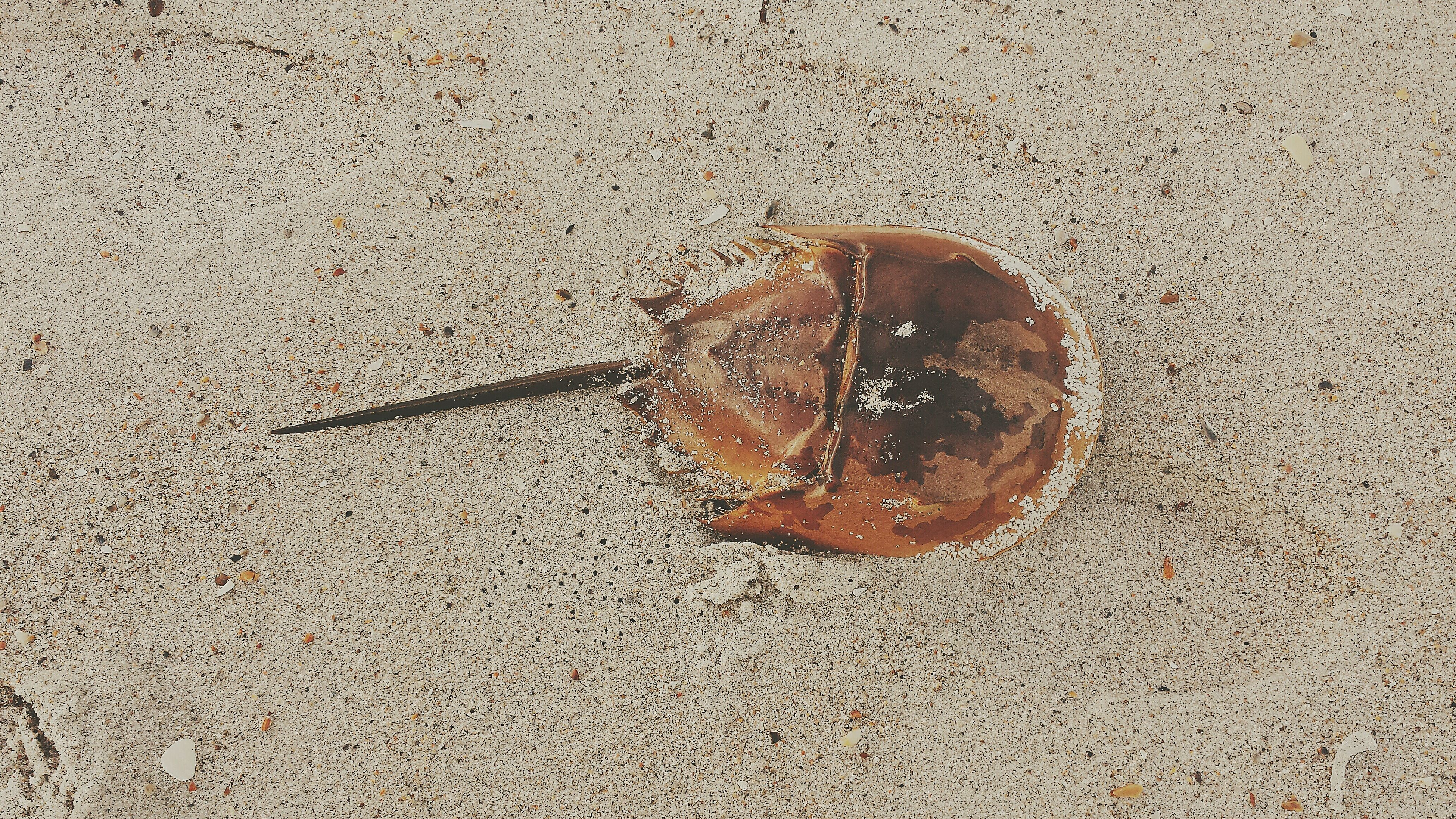 Horseshoe Crab on the beach. Taking Photos Check This Out North Carolina Summer Beach Life Is A Beach Summertime At The Beach