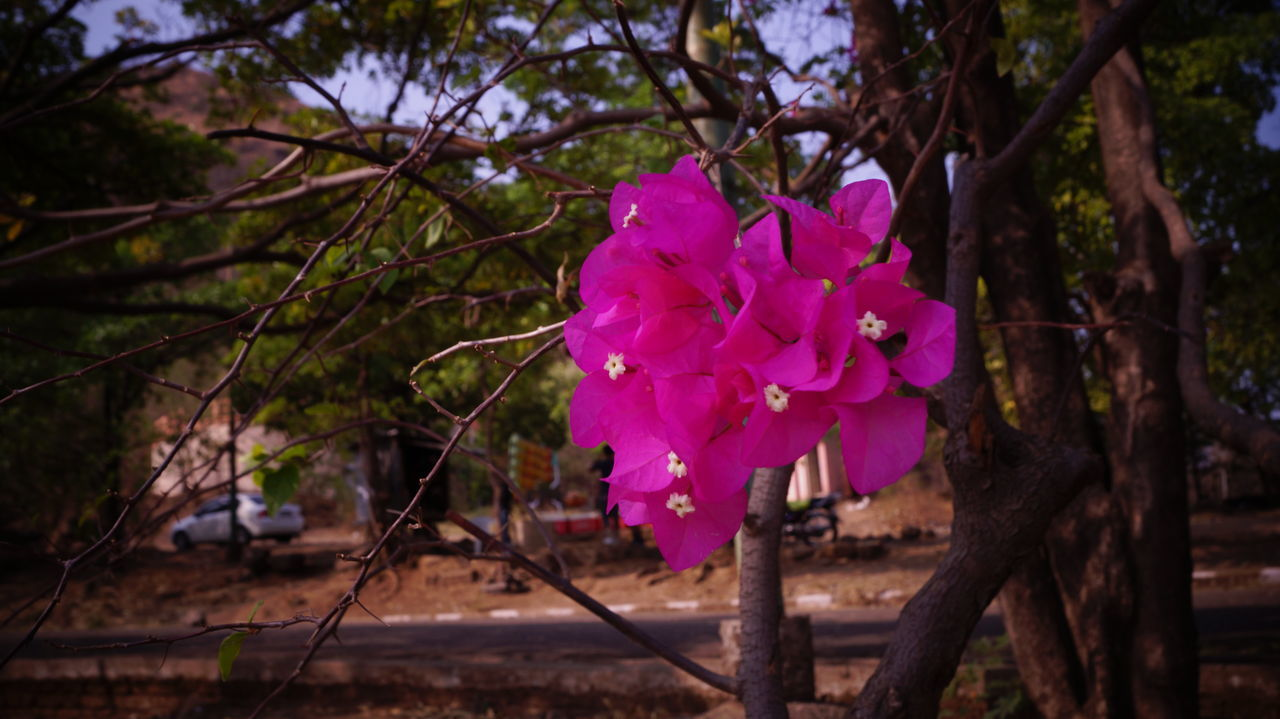 Beauty In Nature Blooming Blossom Bougainvillea Branch Close-up Fence Flower Flower Head Focus On Foreground Fragility Freshness Growth In Bloom Magneta Nature Pandavleni Park - Man Made Space Petal Pink Color Plant Purple Red Sonya58 Tree