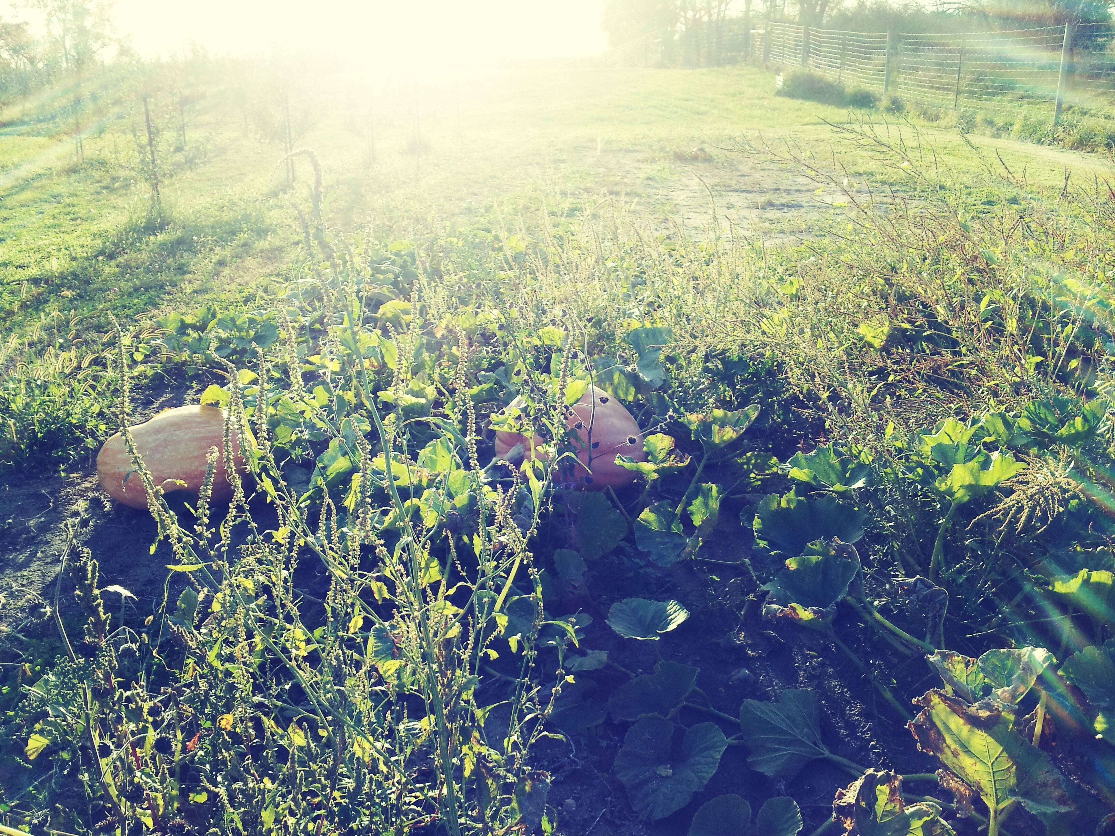 growth, sunbeam, sunlight, green color, plant, nature, tranquility, tree, beauty in nature, sun, field, lens flare, tranquil scene, grass, sunny, scenics, day, landscape, outdoors, no people