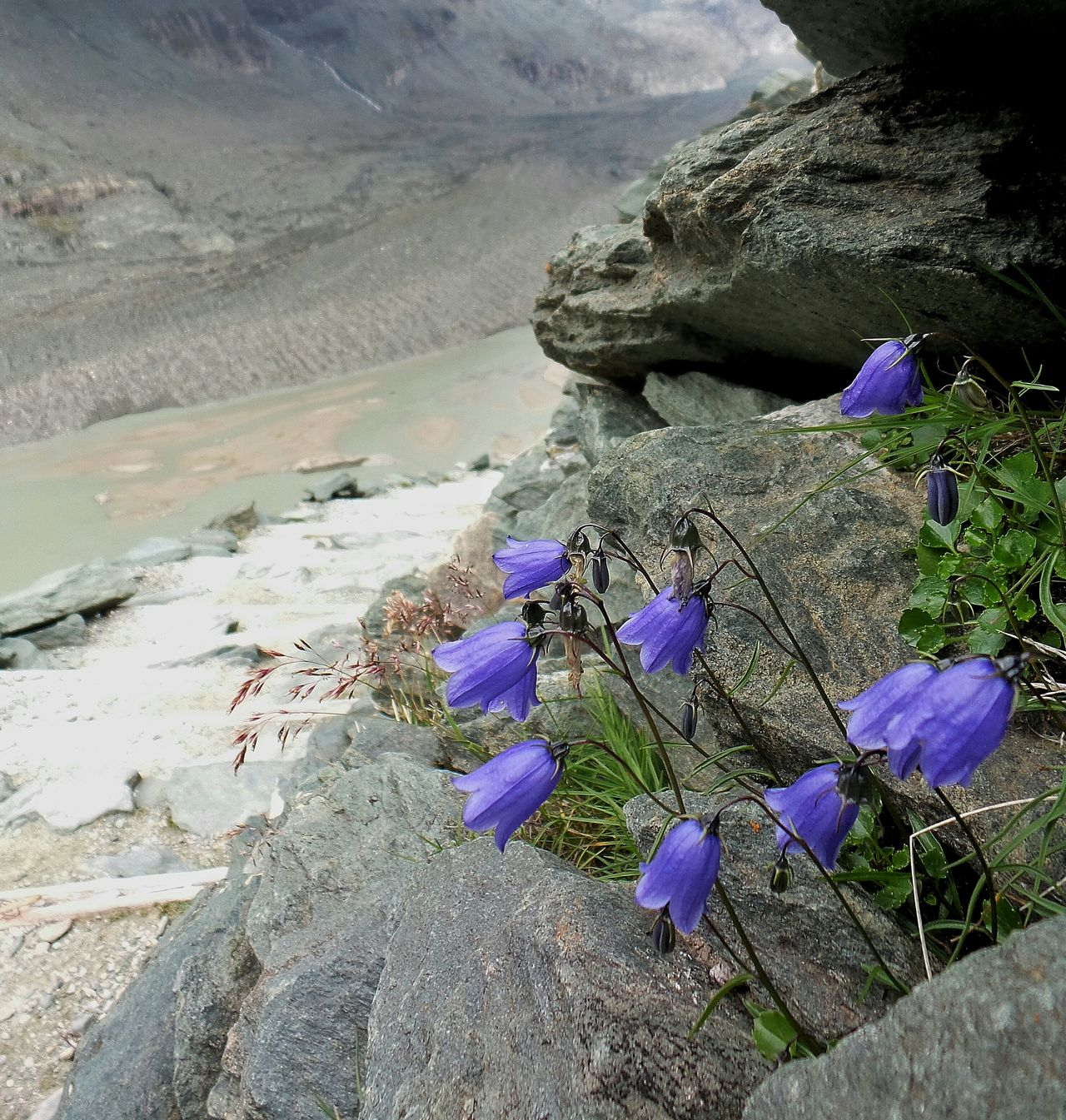 Chance Encounters Nature Flower Beauty In Nature Freshness Fragility Close-up Day Outdoors Happiness Monuments Of The World Grossglockner Grossglockner-hochalpenstrasse Winter Water Colorsofnature Glacier Violet Mountains Alps Alpi Austria