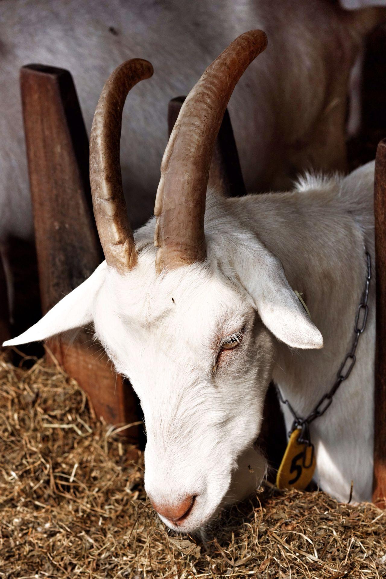 Beautiful stock photos of goat, Animal Pen, Animal Themes, Close-Up, Day