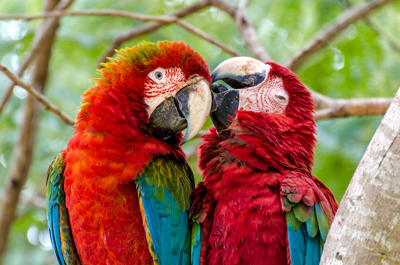 Two scarlet macaws in the South Pantanal region in Brazil, not so far from the Bolivian border. Amazon Amazonas Animal Themes Animals In The Wild Bird Bird Photography Birds Brasil Brazil Brazilian Close-up Latin America Love Macaw Macaw Parrot Nature Pantanal Parrot Red Scarlet Macaw South America Two Animals Wilderness Wildlife Wildlife & Nature First Eyeem Photo