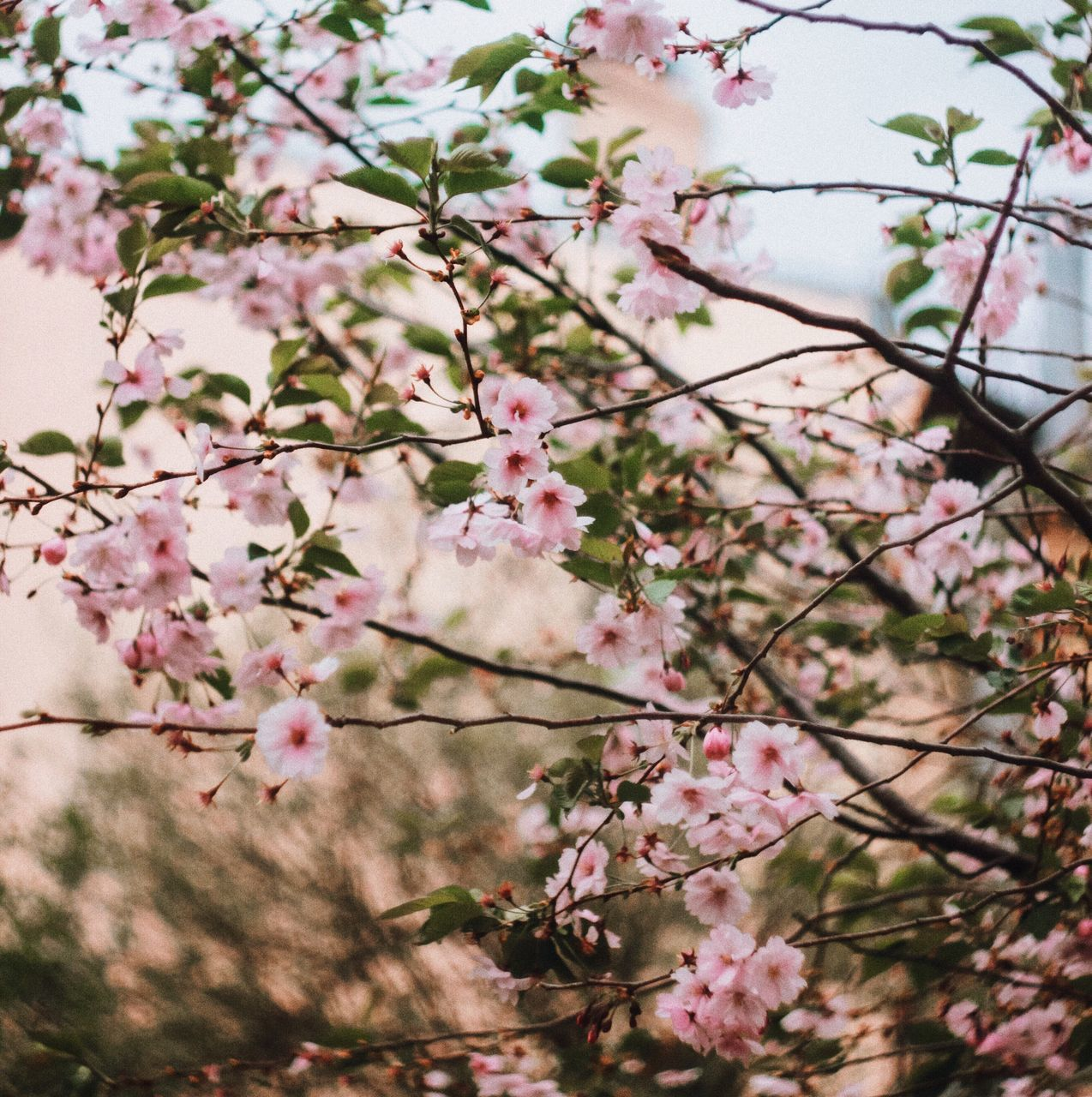 flower, blossom, growth, fragility, tree, nature, branch, springtime, beauty in nature, freshness, botany, apple blossom, no people, twig, pink color, day, low angle view, outdoors, close-up, blooming