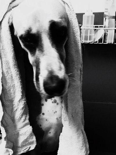 Great Dane Love.❤ Love My Job Bearded Groomer Pets Close-up Puppy Love