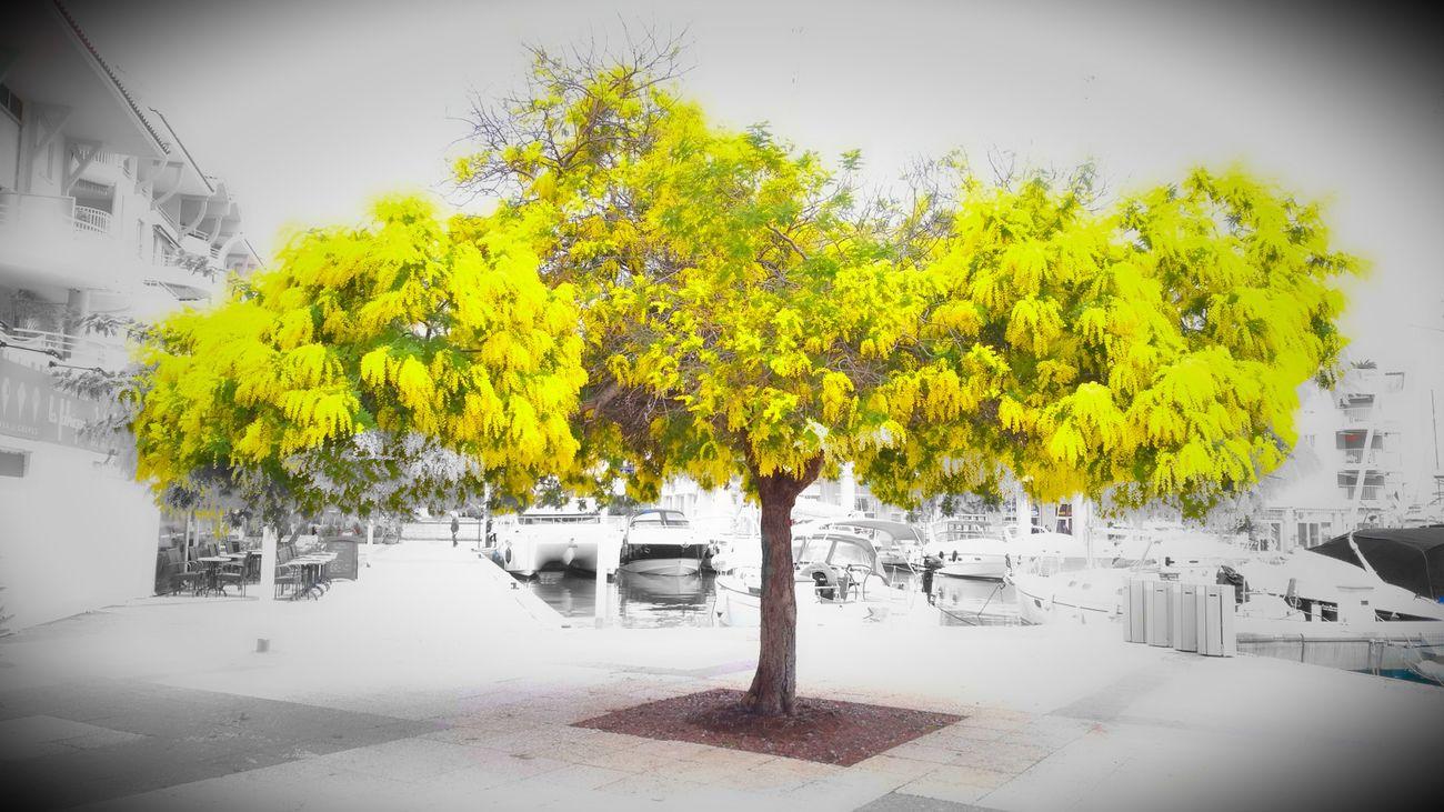 Mimosa Nature